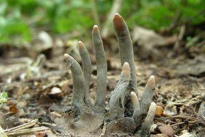 Giải mã loài nấm kịch độc mang tên 'Ngón tay người chết'