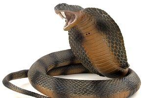 Tử vong khi cố bắt sống rắn hổ mang chúa