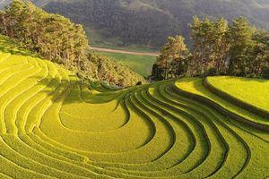 Dưới chân Khau Phạ: Những nàng mắt xanh dong trâu đi bừa