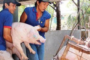 Giá heo hơi hôm nay 24/9: Đầu tuần lợn hơi tăng lên 56.000 đ/kg, tư thương 'săn' bắt cả đàn