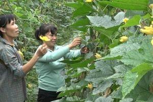 Phú Thọ: Văn Lang-cả làng thu 200 tỷ...nhờ cây hoa vàng quả xanh