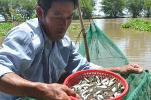 Loài cá đặc sản trứ danh chỉ có ở miền Tây mùa nước nổi