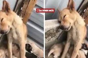 Cảm động khoảnh khắc chó mẹ mệt lả, ngủ gục khi đang cho con bú