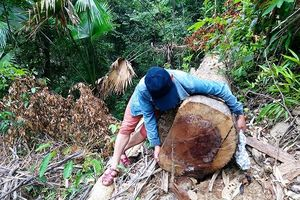 Rừng A Lưới bị rút ruột: 'Nếu rừng bị phá giống Quảng Nam tôi từ chức ngay'