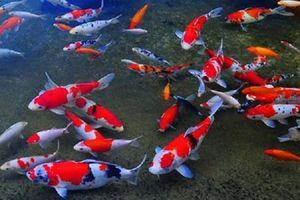 Nông dân Nam Định thu tiền tỷ từ nuôi cá Koi trên sông Hồng