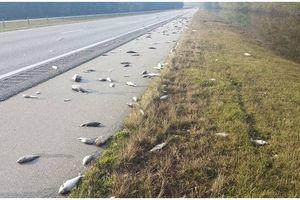 Mỹ: Cá chết dọc đường cao tốc sau khi bão Florence quét qua