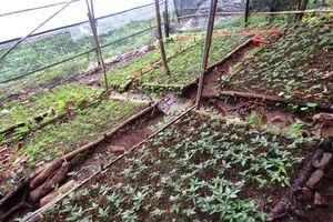 Quảng Nam: Nguồn giống cây dược liệu sẽ được gắn mã số riêng