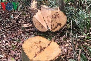 Thâm nhập khu vực rừng phòng hộ A Lưới bị chặt phá