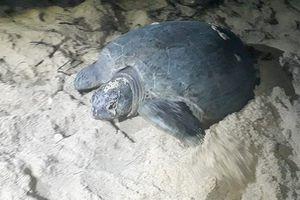 Rùa biển lên bờ đẻ trứng