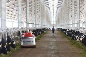 Vinamilk sử dụng robot cho bò ăn