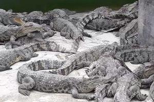 'Đột nhập' trang trại cá sấu tiền tỷ khủng nhất miền Tây