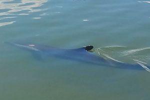 Cá heo vào sông ở Quảng Nam được xử lý ra sao?