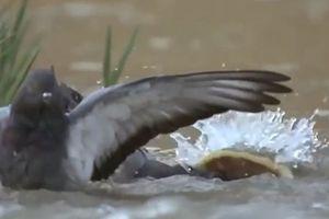 Bồ câu xấu số bị cá trê dài 2,5m nuốt chửng trong nháy mắt