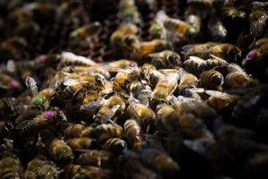 Nghiên cứu: Thuốc diệt cỏ của Monsanto tiêu diệt ong mật