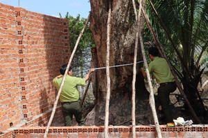 Truy tìm được cây giáng hương 'khủng' bị bứng khỏi rừng phòng hộ