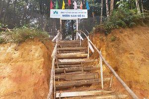 Lên núi xem 500 ha sâm Ngọc Linh quý hiếm