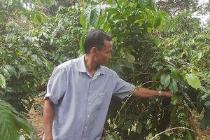 Giá cà phê giảm kỷ lục, nhà nông lo tắc đầu ra khi sắp vào vụ mới