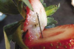 Australia: Kim khâu gây 'khủng hoảng dâu tây'