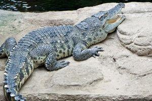 Khám phá thú vị về loài cá sấu rất nhát người