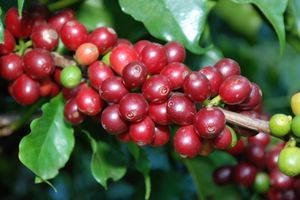 Ngày 25/9: Giá cà phê bất ngờ tăng mạnh
