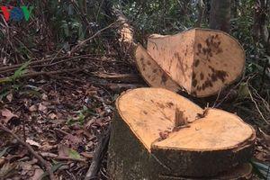Điều tra làm rõ trách nhiệm vụ rừng phòng hộ A Lưới bị chặt phá