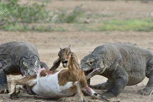 Hai rồng Komodo tranh nhau xé xác dê