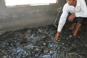 Ninh Bình: Lão nông kiếm tiền tỷ nhờ 'con trơn nhớt'