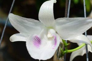 Hé lộ lý do cây hoa lan đột biến 5 cánh trắng có giá 6,8 tỷ đồng
