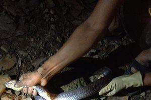 Tay không bắt rắn hổ mang hoa dài 2m trong chuồng gà ở Lạng Sơn