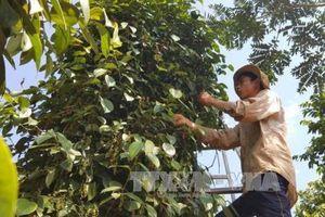 Đắk Lắk khuyến cáo nông hộ không mở rộng diện tích cây hồ tiêu