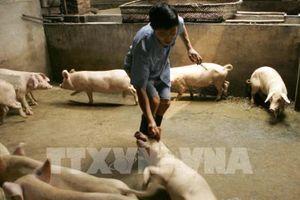 Kiến nghị một số giải pháp phòng, chống dịch tả lợn châu Phi