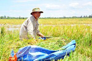 Kiên Giang: Dốc toàn lực cứu lúa thu đông trước lũ
