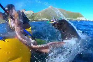 Hải cẩu ném bạch tuộc vào mặt người chèo kayak