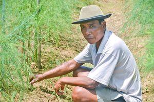 Làm giàu từ trồng măng tây trên vùng đất pha cát