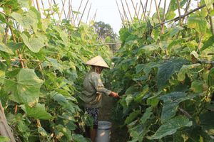 Huyện Hà Trung: Phát triển hơn 100 ha dưa chuột