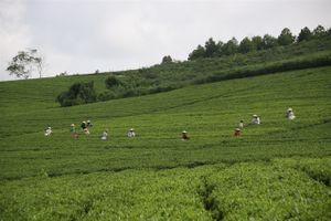 Tuyên Quang đẩy mạnh sản xuất chè sạch