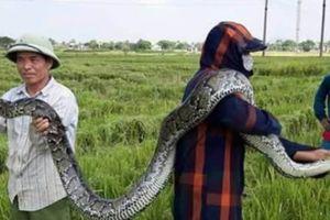 Thanh Hóa: Dân vây bắt trăn 'khủng', nặng 25kg ở đồng lúa đang gặt