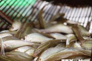 Cá linh mùa nước nổi - 'món quà' cho người dân miền Tây
