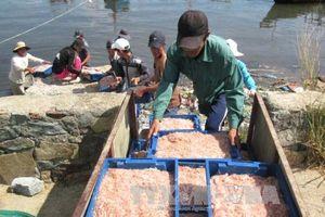 Ngư dân Quảng Trị trúng đậm vụ ruốc biển