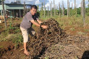 Hơn 100 ha 'vàng đen' tiêu tan sau mùa mưa