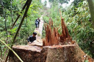 Hàng chục cây gỗ lim trăm tuổi bị xẻ thịt, hai kiểm lâm bị bắt