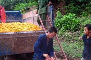 Những vườn cây ăn trái trăm triệu đẩy lùi 'nàng tiên nâu'