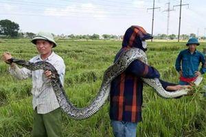 Đang gặt lúa, hốt hoảng phát hiện con trăn nặng tới 25kg