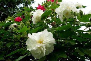 Khám phá loài hoa đẹp mong manh, đổi ba màu trong một ngày