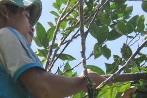 'Thuần hóa' trái hường - của quý của núi rừng thừa tiền mua cá thịt