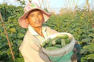 Nông dân Anh Sơn trồng dưa chuột vụ đông sớm thu lãi cao