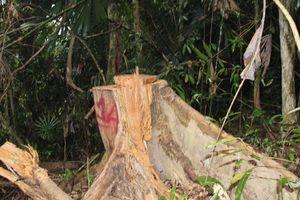 Khẩn trương điều tra vụ phá rừng đầu nguồn ở huyện A Lưới