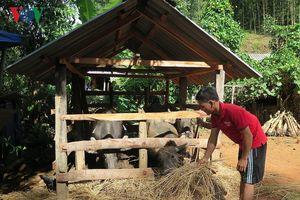 Nuôi trâu thịt giúp xóa đói giảm nghèo ở vùng cao Quảng Ngãi