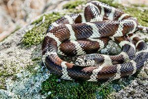 Rùng mình chứng kiến rắn vua tấn công, nuốt trọn rắn đuôi chuông trong chớp mắt