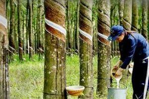 Việt Nam trở thành một trong những nước dẫn đầu về năng suất cao su ở châu Á